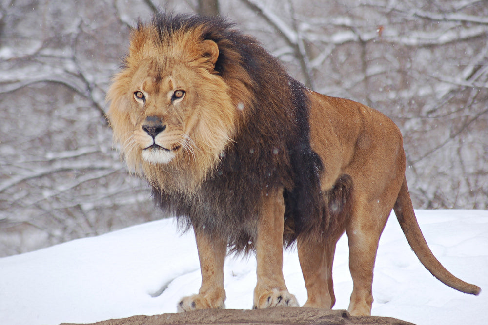 LION IN THE SNOW