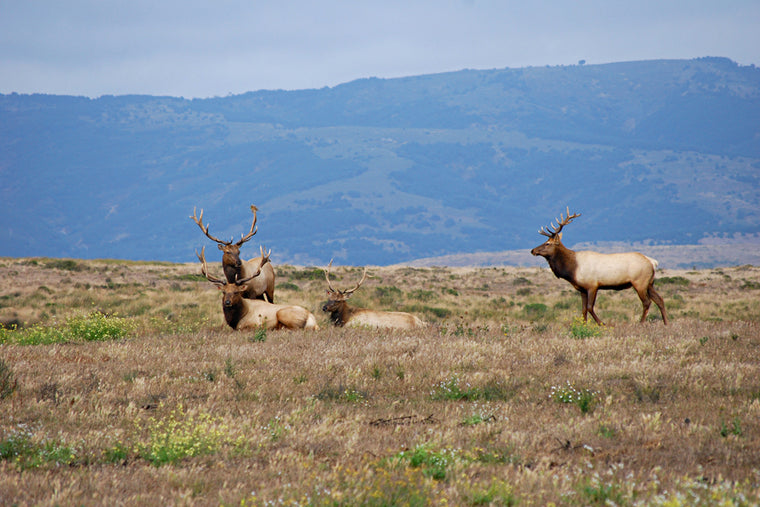 ELK UNDER THE MOUNTAINS