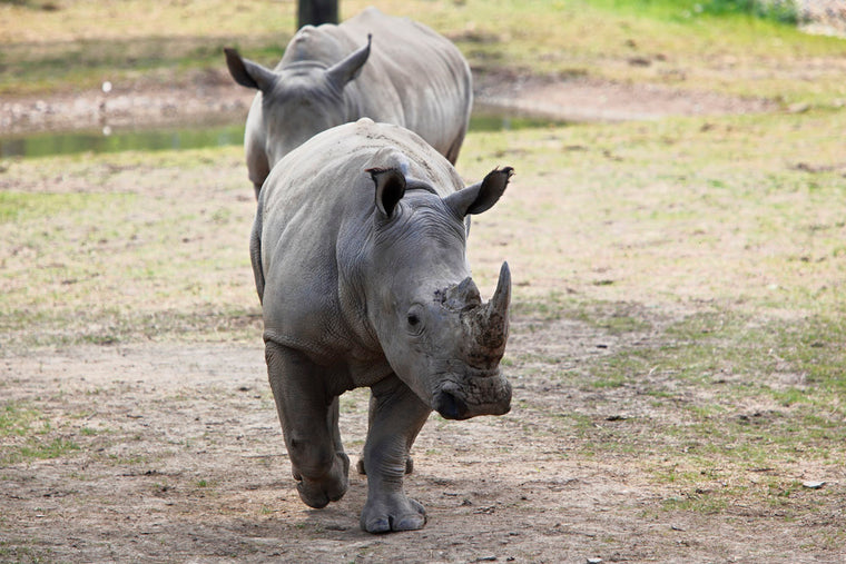 RHINOS ON THE MOVE