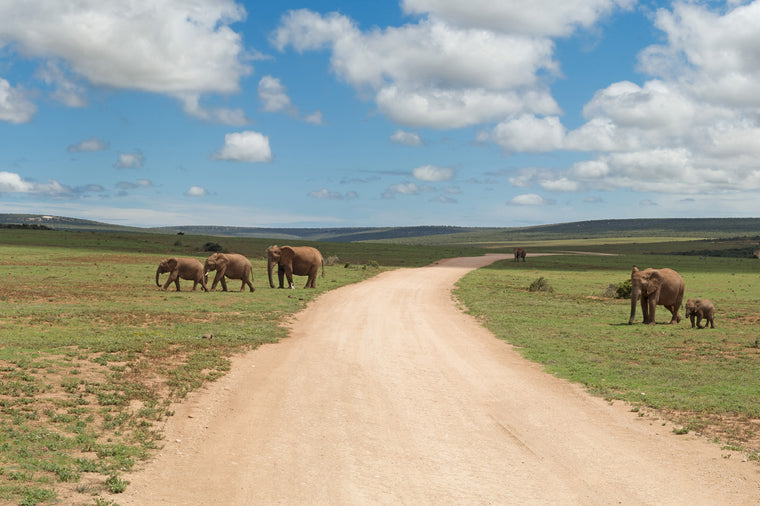 Elephant Herd Roaming the Plains