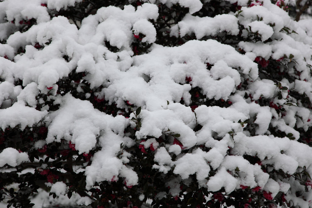 Snowcovered Flowers