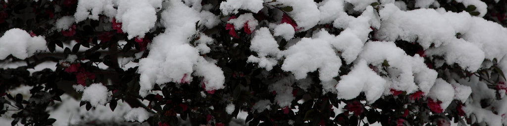 SNOW-COVERED FLOWERS
