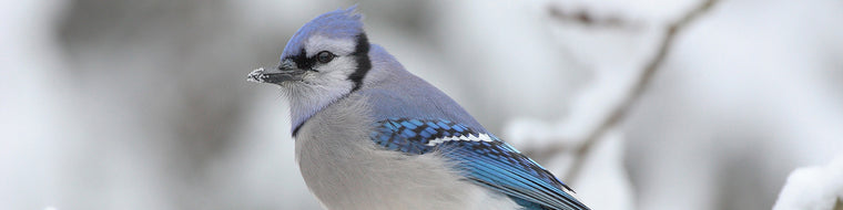 BLUE JAY IN THE WINTER