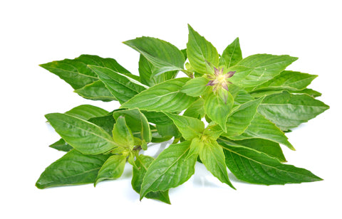 The organic and tropical Tulsi tea and health benefits