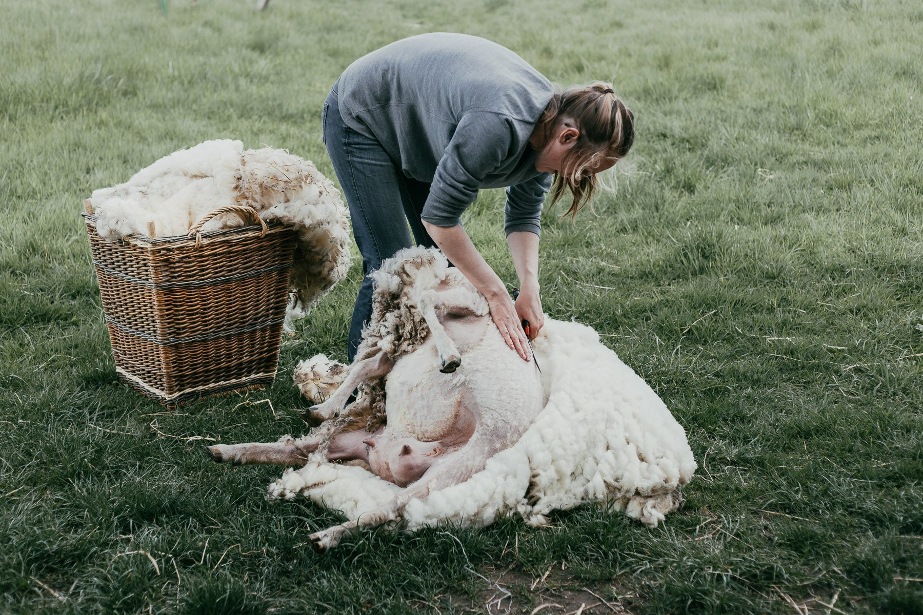 Shearing By Hand On the Organic Small Holding