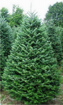 Fraser Fir Christmas Tree, 7'-8'-Simple and Grand-Simple and Grand