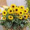 "Bushel of Sunflowers, 15""-Simple and Grand-Simple and Grand"