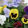 "Pansy Bowl, 12.5""-Simple and Grand-12.5""-Simple and Grand"