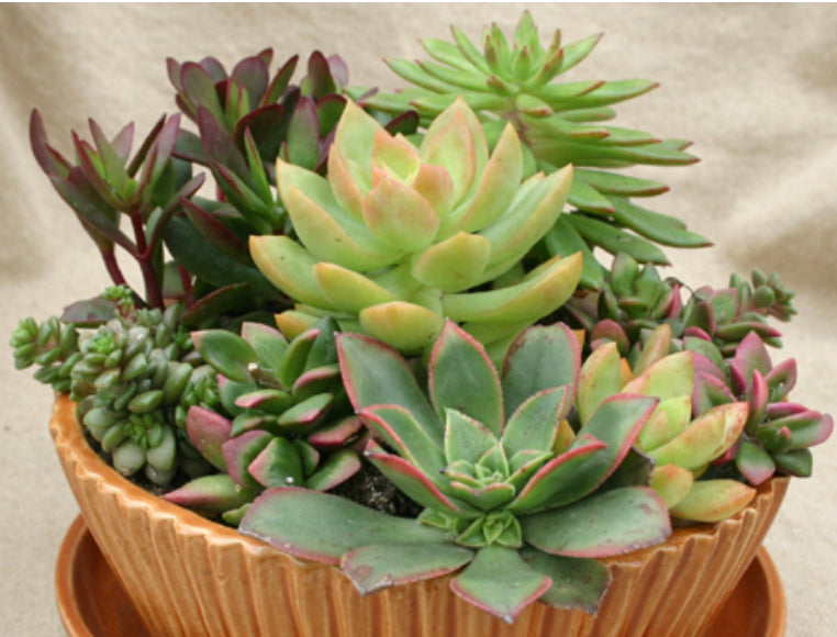 "Succulent Bowl, 12""-Simple and Grand-12""-Simple and Grand"