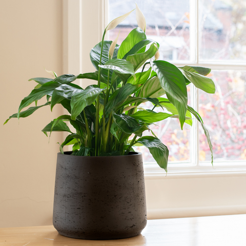 Peace lily by a window sill