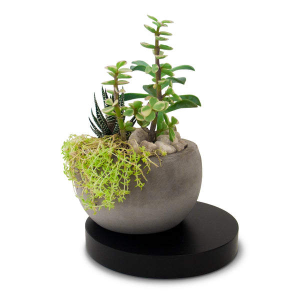 Concrete Succulent Planter with Black Wooden Base