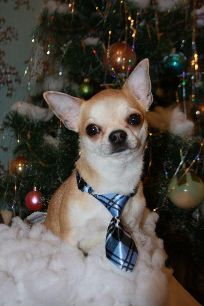 Designer Neck Ties for Chihuahua-Accessories-Pets Hub Home