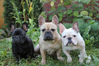 French Bulldog Zone