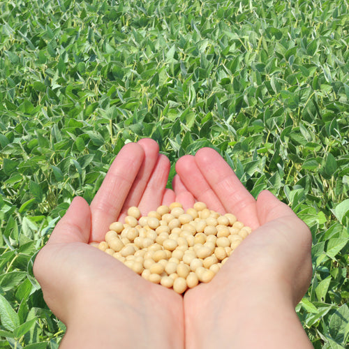 Difference Between Organic and Non-GMO Certified Soybeans