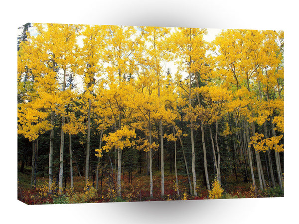 Autumn Aspen And Birch Denali Alaska A1 Xlarge Canvas
