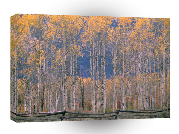 Autumn Aspen Splendor Jackson Hole Wyoming A1 Xlarge Canvas