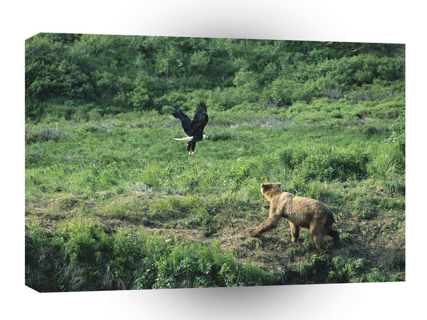 Bear Brown Bald Eagle Alaska A1 Xlarge Canvas