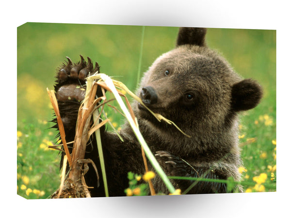 Bear Cattail Eating Grizzly A1 Xlarge Canvas