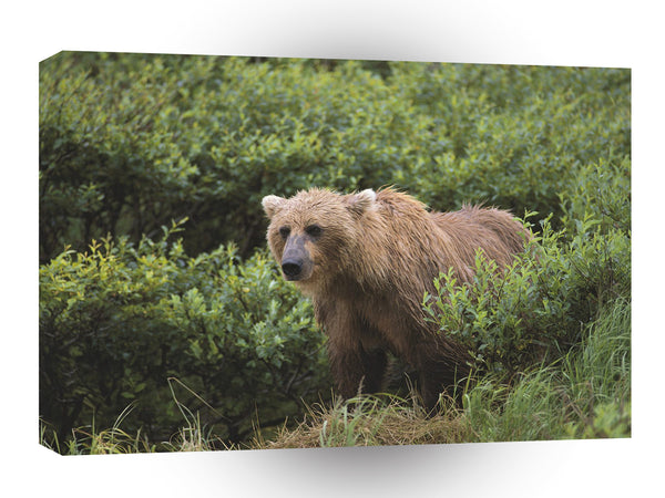 Bear Wet Wild Brown Alaska A1 Xlarge Canvas