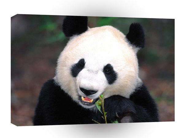 Bear Whats For Dinner Giant Panda A1 Xlarge Canvas