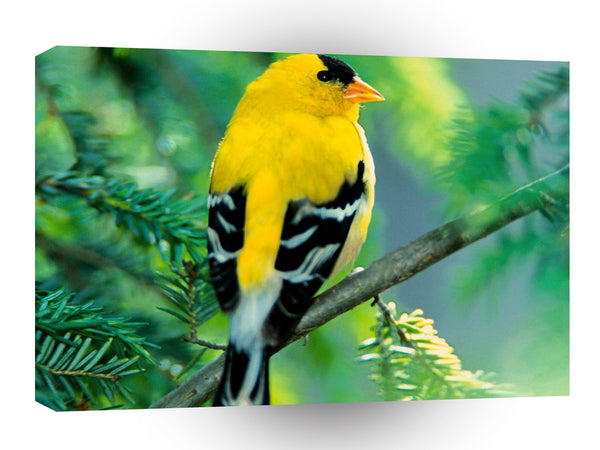 Bird American Goldfinch A1 Xlarge Canvas