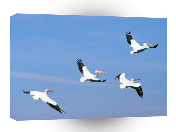 Bird American White Pelicans A1 Xlarge Canvas
