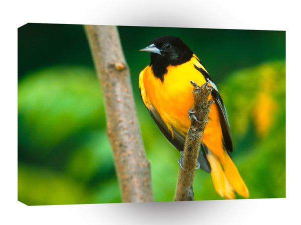 Bird Baltimore Oriole A1 Xlarge Canvas