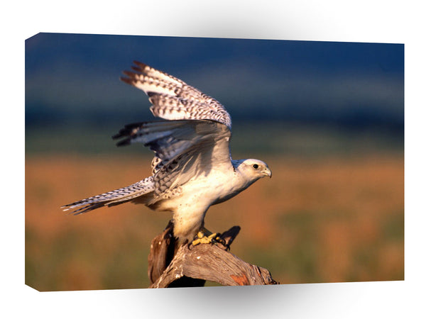 Bird Feels Good To Stretch Gyrfalcon A1 Xlarge Canvas