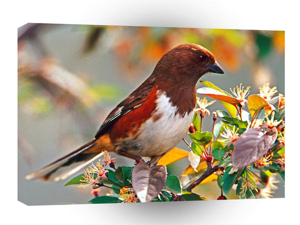 Bird Female Rufous Sided Towhee A1 Xlarge Canvas