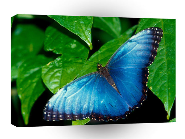 Butterflies Blue Morpho A1 Xlarge Canvas
