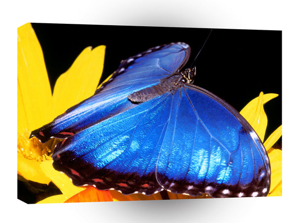 Butterflies Blue Morpho Butterfly A1 Xlarge Canvas