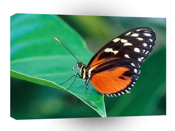 Butterflies Golden Helicon A1 Xlarge Canvas