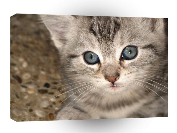 Cats Kitten Close Up A1 Xlarge Canvas