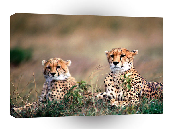 Cheetah Spotting Trouble A1 Xlarge Canvas