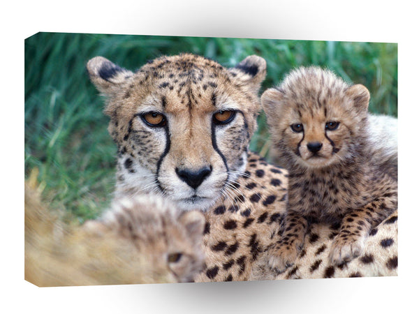 Cheetahs Close Up A1 Xlarge Canvas