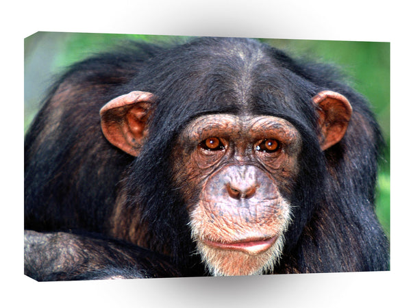 Chimpanzees All Ears A1 Xlarge Canvas