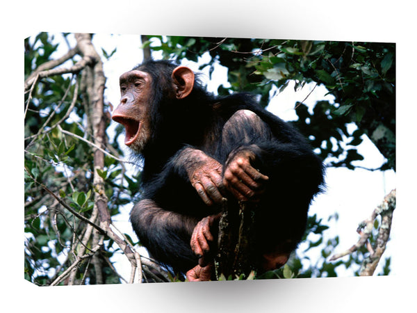 Chimpanzees Crooning The Treetops A1 Xlarge Canvas