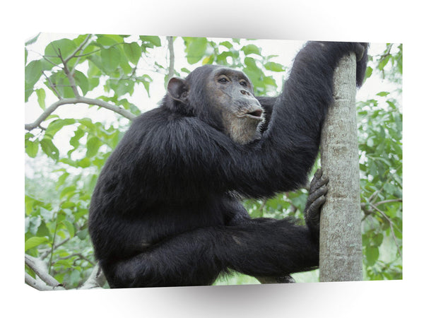 Chimpanzees Gombe Tanzania Africa A1 Xlarge Canvas