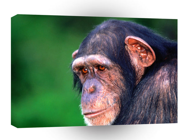 Chimpanzees In The Eye Of The Beholder A1 Xlarge Canvas