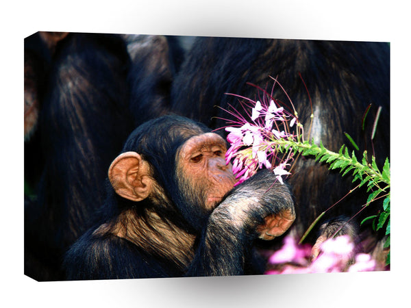 Chimpanzees Just A Taster A1 Xlarge Canvas