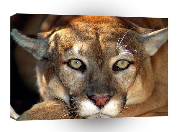 Cougar Body Language A1 Xlarge Canvas