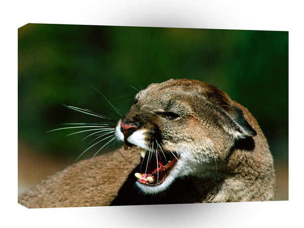 Cougar Close Snarl A1 Xlarge Canvas