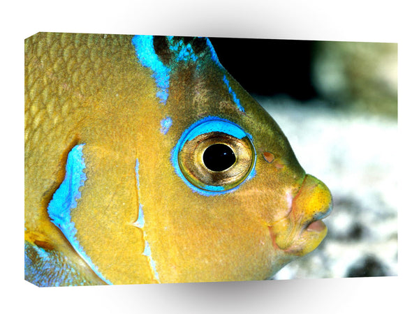 Fish Atlantic Blue Angelfish A1 Xlarge Canvas