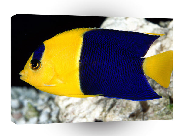 Fish Bicolor Angelfish A1 Xlarge Canvas