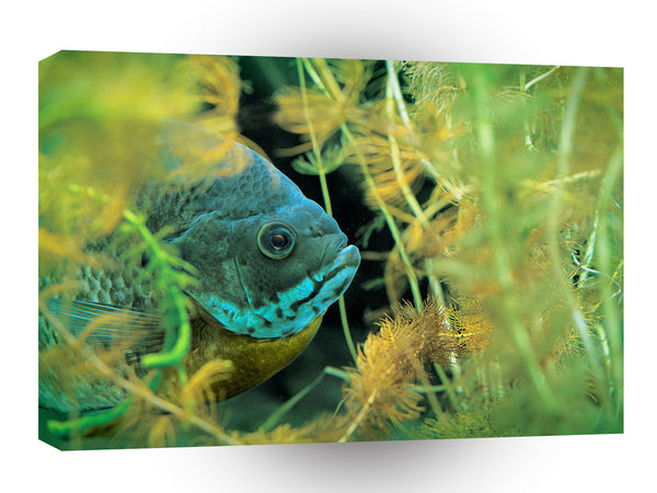 Fish Bluegill Hiding Coontail A1 Xlarge Canvas