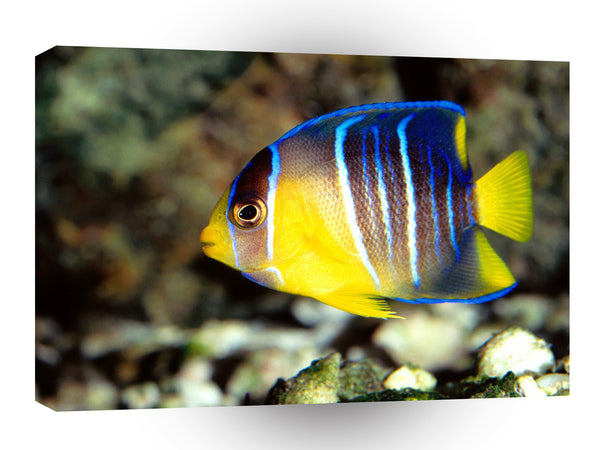 Fish Caribbean Blue Angelfish Mexico A1 Xlarge Canvas