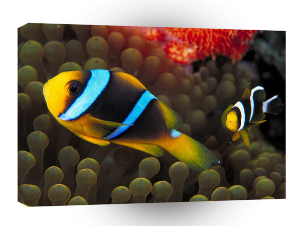 Fish Clarks Anemonefish A1 Xlarge Canvas