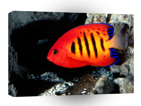 Fish Flame Angelfish A1 Xlarge Canvas