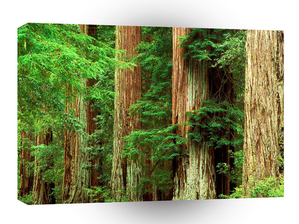 Forest Ancient Giants Big Basin Redwood Park A1 Xlarge Canvas