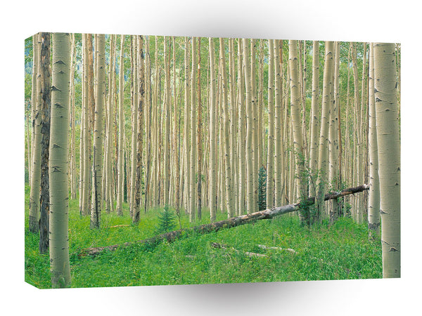 Forest Aspen Grove Independence Pass A1 Xlarge Canvas